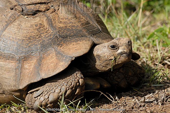 Leopard tortoise (Stigmochelys, Geochelone pardalis) with damged shell, de Hoop Nature reserve, western Cape, South Africa  -  Tony Phelps/ npl