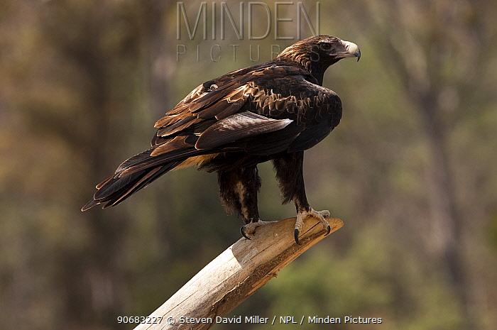 Wedge-tailed eagle (Aquila audax fleayi) perched on post (captive) Devils Heaven Wildlife Park, Launceston, Tasmania, Australia  -  Steven David Miller/ npl