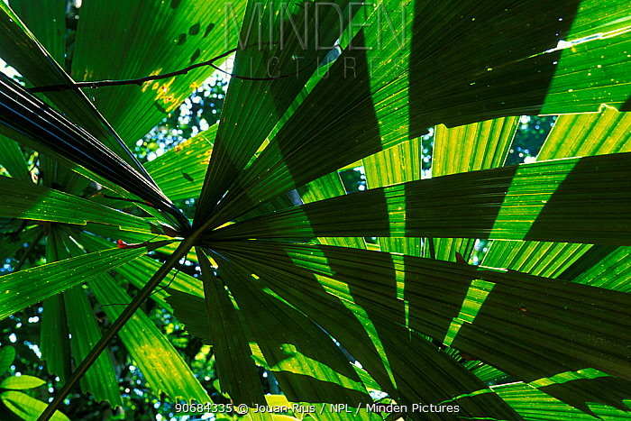 Palm leaves (Licuala valida) in swamp forest, Lambir NP, Borneo, Sarawak, Malaysia  -  Jouan & Rius/ npl
