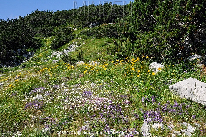 Colourful mix of Alpine wild flowers including Alpine calamint (Acinos alpinus) Creeping baby's breath (Gypsophila repens) and Yellow oxeye daisies (Buphthalmum salicifolium) growing on karst limestone mountainside below Dwarf pine trees (Pinus mugo) at 1600m, Triglav National Park, Slovenia, July 2010  -  Nick Upton/ npl