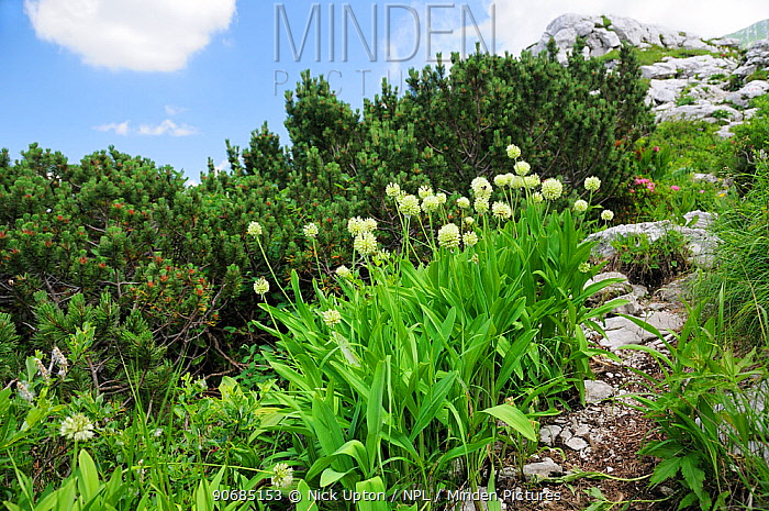 Alpine leek (Allium victorialis) clump growing among limestone scree near Dwarf pines (Pinus mugo) at 1700m on the Bohinj Ridge Mountains hiking trail, Julian Alps, Triglav National Park, Slovenia, July  -  Nick Upton/ npl