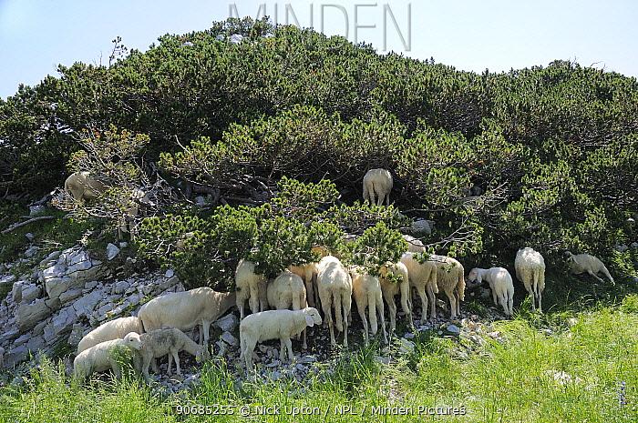 Flock of Bovec sheep (Ovis aries) seeking shade under Dwarf pine trees (Pinus mugo) in unusually hot weather at 1600m in the Julian Alps near Bohinj, Triglav National Park, Slovenia, July 2010  -  Nick Upton/ npl
