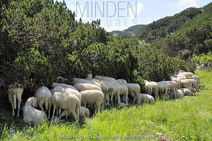 Flock of Bovec sheep (Ovis aries) seeking shade under Dwarf pine trees (Pinus mugo) in unusually hot weather at 1600m in the Julian Alps near Bohinj, Triglav National Park, Slovenia, July  -  Nick Upton/ npl