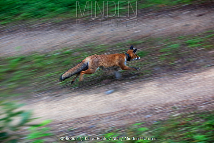 Red Fox (Vulpes vulpes) wearing a radio location tracking collar walking across a fallen tree trunk Black Forest, Germany, August  -  Klaus Echle/ npl