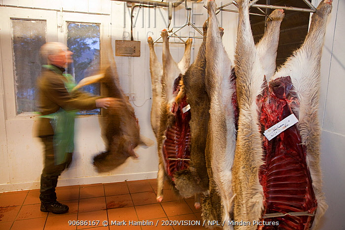 Red deer (Cervus elaphus) carcasses hanging in deer larder, Assynt Foundation, Glencansip Estate, Assynt, Sutherland, NW Scotland, UK, January 2011 Model released  -  Mark Hamblin/ 2020V/ npl