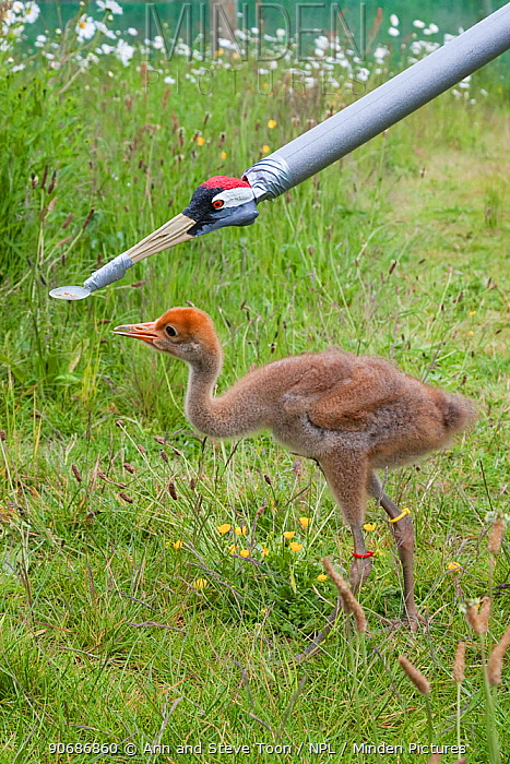 Common, Eurasian crane chick (Grus grus) being fed with artifical feeder, Great Crane captive breeding and reintroduction project, Wildfowl and Wetlands Trust, Slimbridge, Gloucestershire, UK, May 2011  -  Ann & Steve Toon/ npl