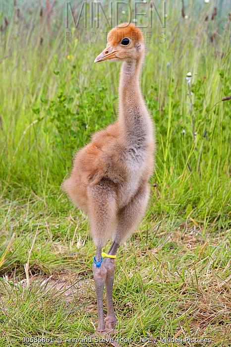Common, Eurasian crane chick (Grus grus) at Wildfowl and Wetlands Trust, Great Crane captive breeding and reintroduction project, Slimbridge, Gloucestershire, UK, May 2011  -  Ann & Steve Toon/ npl