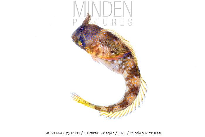 Montagu's blenny (Coryphoblennius galerita) from rocky shore, County Clare, Ireland, August meetyourneighboursnet project  -  MYN/ Carsten Krieger/ npl