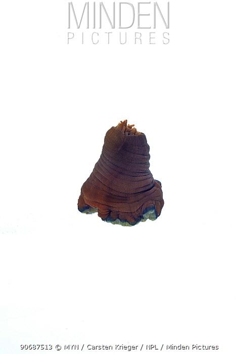 Beadlet anemone (Actinia equina) opening, sequence 1, 3, County Clare, Ireland, December meetyourneighboursnet project  -  MYN/ Carsten Krieger/ npl