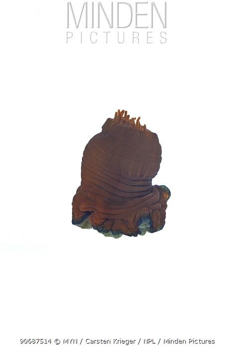 Beadlet anemone (Actinia equina) opening, sequence 2, 3, County Clare, Ireland, December meetyourneighboursnet project  -  MYN/ Carsten Krieger/ npl