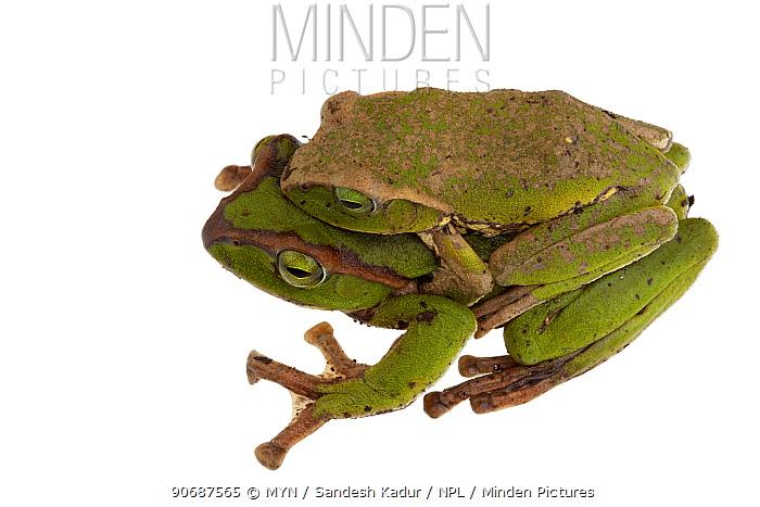 Tree frogs (Hylidae) mating, Talle Valley Sanctuary, Arunachal Pradesh, India meetyourneighboursnet project  -  MYN/ Sandesh Kadur/ npl