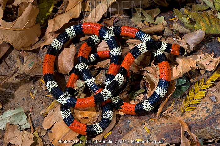 Bolivian triad coral sanke (Micrurus frontifasciatus) coiled up on leaves, Bolivia, controlled conditions  -  Daniel Heuclin/ npl