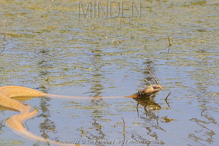 Male Cape cobra (Naja nivea) swimming in dam, de Hoop Nature Reserve, Western Cape, South Africa, January  -  Tony Phelps/ npl