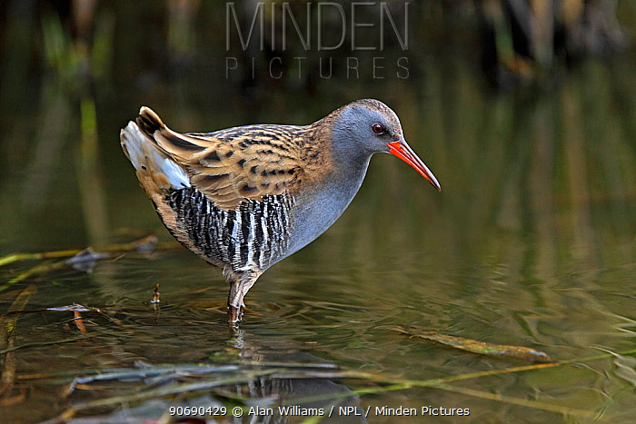 Water rail (Rallus aquaticus) foraging in pond, Merseyside, UK, November  -  Alan Williams/ npl