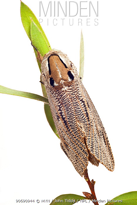 Wood moth (Endoxyla lituratus) from garden, Stawell, Victoria, Australia, December meetyourneighboursnet project  -  MYN/ John Tiddy/ npl
