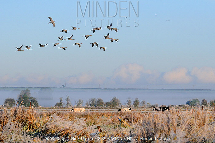 Flock of twenty juvenile Common, Eurasian cranes (Grus grus) recently released by the Great Crane Project onto the Somerset Levels and Moors, flying over grazing cattle, Somerset, England, UK, October 2010 2020VISION Exhibition  -  Nick Upton/ 2020V/ npl