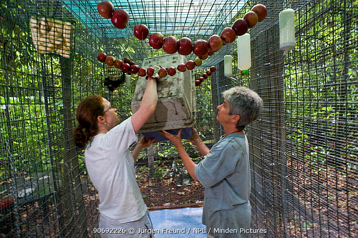 Spectacled flying foxes (Pteropus conspicillatus) rehabilitated and healthy fruit bats are put in boxes to be returned to the wild, Atherton, North Queensland, Australia January 2008  -  Jurgen Freund/ npl