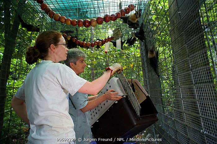 Spectacled flying foxes (Pteropus conspicillatus)rehabilitated and healthy fruit bats are put in boxes to be returned to the wild, Atherton, North Queensland, Australia January 2008  -  Jurgen Freund/ npl