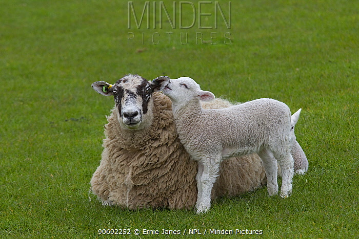 Domestic sheep (Ovis aries) lamb in meadow with ewe lying down, Norfolk, UK, April  -  Ernie Janes/ npl