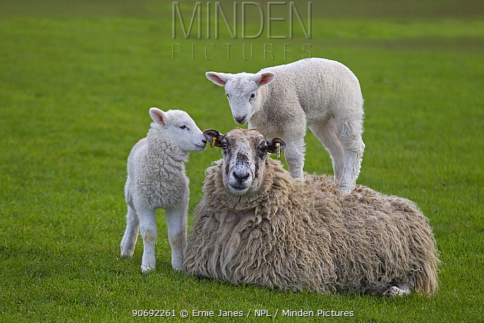 Domestic sheep (Ovis aries) lambs in meadow playing, with one standing on Ewe, Norfolk, UK, March  -  Ernie Janes/ npl