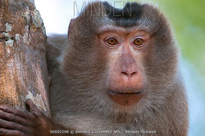 Pig-tailed Macaque (Macaca nemestrina) portrait Sepahijala Wildlife Sanctuary, Tripura, India  -  Bernard Castelein/ npl