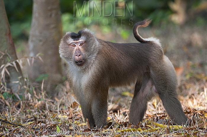 Pig-tailed Macaque (Macaca nemestrina) portrait, walking on ground Sepahijala Wildlife Sanctuary, Tripura, India  -  Bernard Castelein/ npl