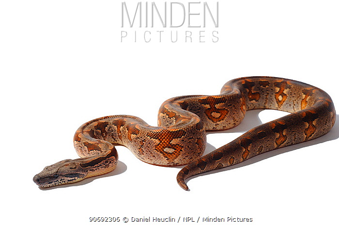 Dumeril's Ground Boa (Acrantophis dumerili) against white background Endemic to Madagascar  -  Daniel Heuclin/ npl