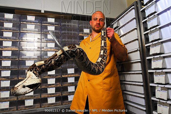 Minden Pictures Stock Photos Gaboon Viper Bitis
