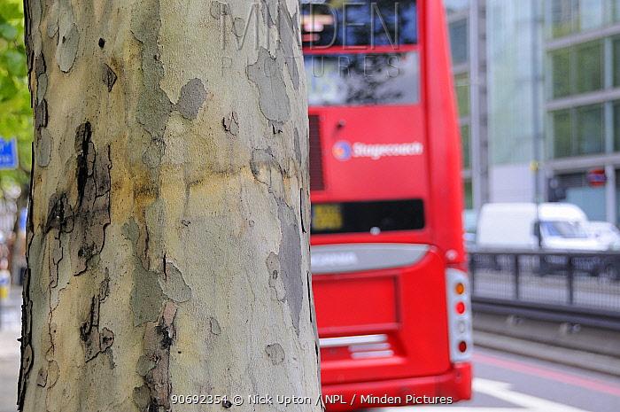 Double decker bus passing peeling bark of pollution resistant London Plane Tree (Platanus x hispanica), Euston Road, London, UK, May 2012  -  Nick Upton/ npl