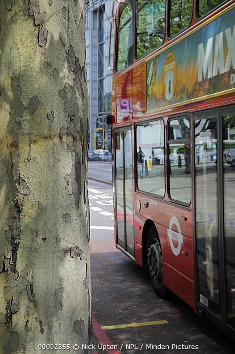 Double decker bus passing peeling bark of pollution resistant London Plane Tree (Platanus x hispanica), Euston Road, London, UK, May 2012 No release available  -  Nick Upton/ npl