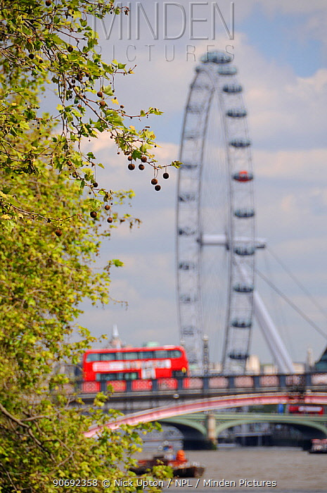 London Plane Tree (Platanus x hispanica) with dangling fruits overhanging the River Thames with the London Eye and a double decker bus crossing Lambeth Bridge in the background, London, UK, May 2012  -  Nick Upton/ npl