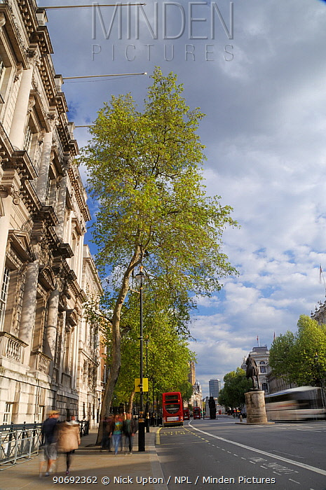 Row of London Plane Trees (Platanus x hispanica) lining Whitehall, long exposure, London, UK, May 2012  -  Nick Upton/ npl