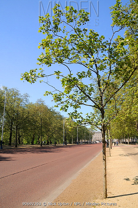 Avenues of London Plane Trees (Platanus x hispanica) lining The Mall with Buckingham Palace in the background, London, UK, May 2012  -  Nick Upton/ npl