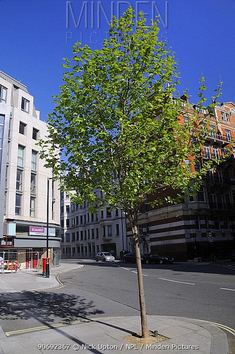 Young London Plane Tree (Platanus x hispanica), Buckingham Gate, Westminster, London, UK, May 2012  -  Nick Upton/ npl