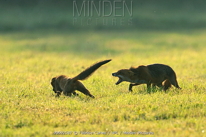 Two Red Foxes (Vulpes vulpes) playing Vosges, France, July  -  Fabrice Cahez/ npl