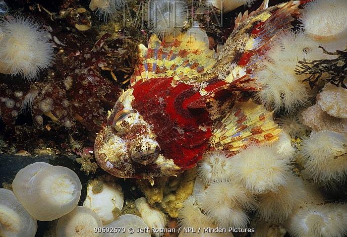 Red Irish Lord (Hemilepidotus hemilepidotus) camouflaged on sea floor, Queen Charlotte Strait, British Columbia, Canada, North Pacific Ocean  -  Jeff Rotman/ npl