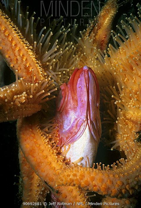 Sunflower Sea Star (Pycnopodia helianthoides) scavenging dead Yelloweye Rockfish (Sebastes ruberrimus) Vancouver Island, British Columbia, Canada North Pacific Ocean  -  Jeff Rotman/ npl