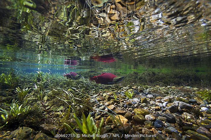 Sockeye, Red Salmon (Oncorhynchus nerka) on spawning migration Adams River, British Columbia, Canada, October  -  Michel Roggo/ npl
