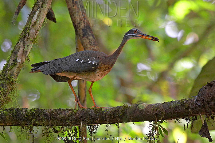 Sunbittern (Eurypyga helias) carrying food to its nest, Soberania National Park, Panama, August  -  Ben Lascelles/ npl