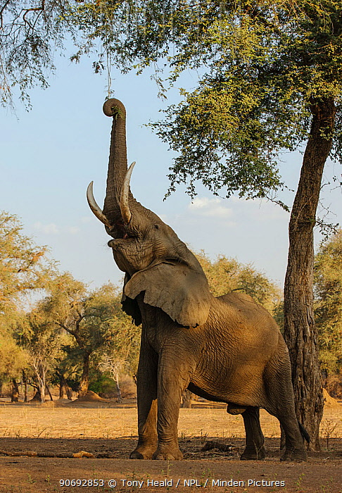 African elephant (Loxodonta africana) reaching up with trunk to feed on high tree branches, Mana Pools National Park, Zimbabwe, October 2012  -  Tony Heald/ npl