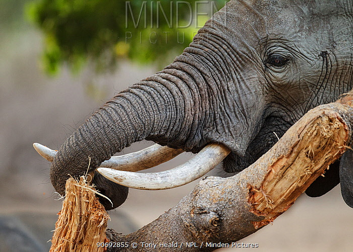 African Elephant (Loxodonta africana) stripping bark to eat, Mana Pools National Park, Zimbabwe, October 2012  -  Tony Heald/ npl