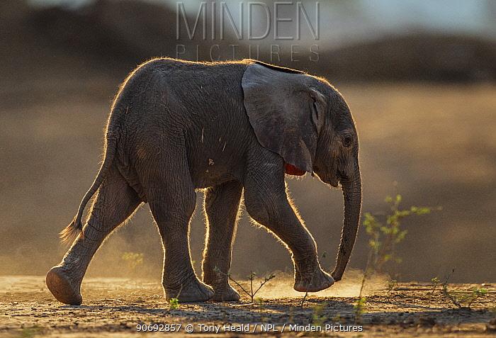 African Elephant (Loxodonta africana) very young baby walking profile, Mana Pools National Park, Zimbabwe, October 2012  -  Tony Heald/ npl