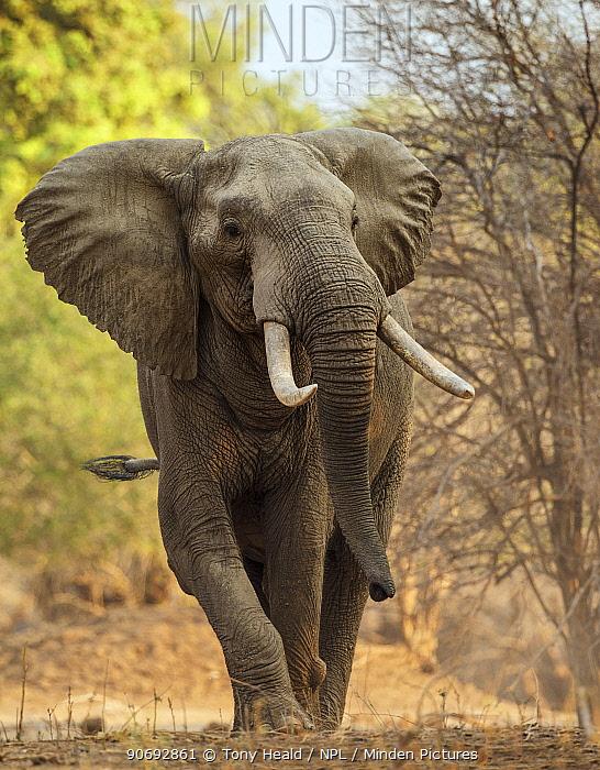 African elephant (Loxodonta africana) walking portrait, Mana Pools National Park, Zimbabwe, October 2012  -  Tony Heald/ npl