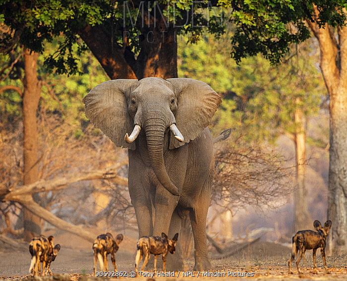 African Wild Dog (Lycaon pictus) pack passing infront of large African elephant (Loxodonta africana) Mana Pools National Park, Zimbabwe October 2012  -  Tony Heald/ npl