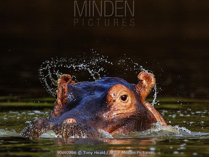 Hippopotamus (Hippopotamus amphibius) ears flicking water when opening after surfacing,  -  Tony Heald/ npl