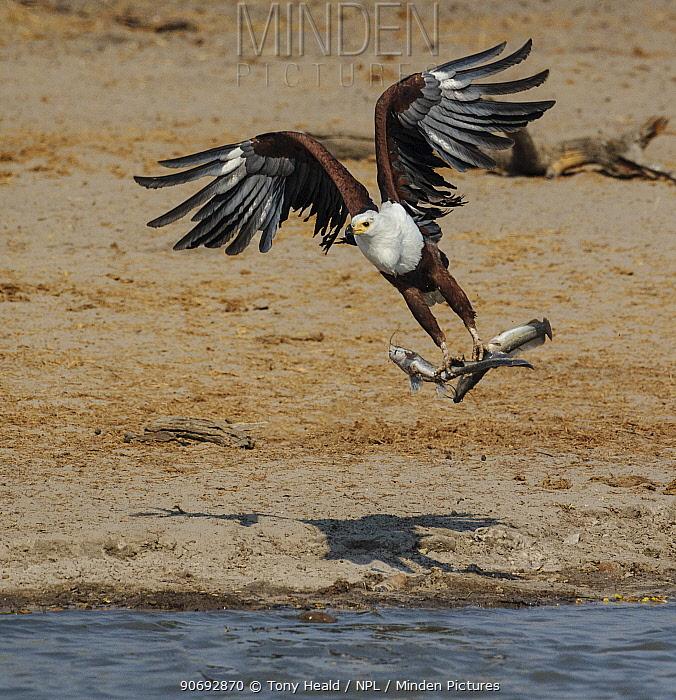 African Fish Eagle (Haliaeetus vocifer) flying with two Catfish prey in talons, Hwange National Park, Zimbabwe October 2012  -  Sharon Heald/ npl