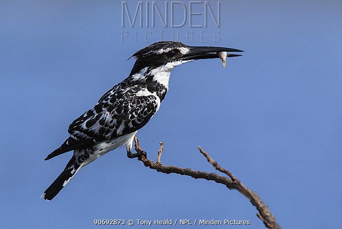 Pied Kingfisher (Ceryle rudis) profile portrait with fish prey, Mana Pools National Park, Zimbabwe October 2012  -  Tony Heald/ npl