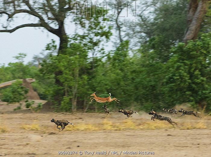 African Wild Dog (Lycaon pictus) pack chasing a jumping Impala (Aepyceros melampus melampus), Mana Pools National Park, Zimbabwe October 2012  -  Tony Heald/ npl