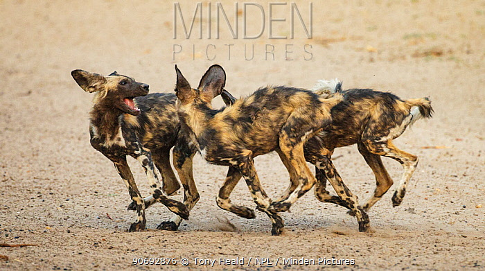 African Wild Dog (Lycaon pictus) mobbing interaction within a pack, Mana Pools National Park, Zimbabwe October 2012  -  Tony Heald/ npl