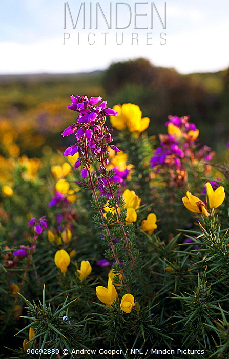 Bell Heather (Erica cinerea) and Western Gorse (Ulex gallii) Dartmoor National Park, UK, August  -  Andrew Cooper/ npl